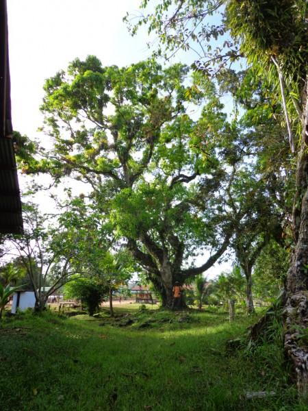 Oude mangoboom op plantage Bergendaal