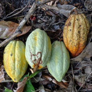 Theobroma cacao fruits