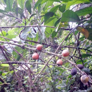 Coffea liberica ripe fruits
