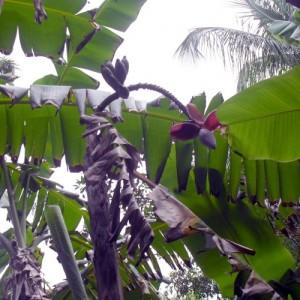 Ghedan kloeto vrucht en bloeiwijze