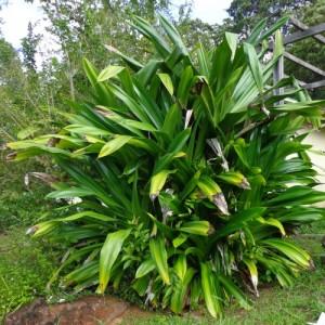 Pandanus dubius op plantage Berg en Dal